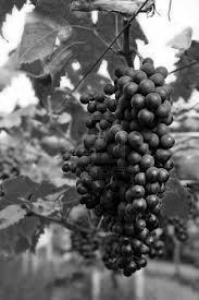 Grappe de raisin resveratrol