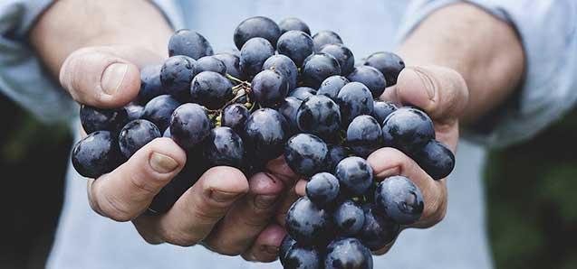 Le resveratrol est un produit naturel qui possède un large spectre d'action sur la santé. Présent notamment naturellement dans la peau du raisin...